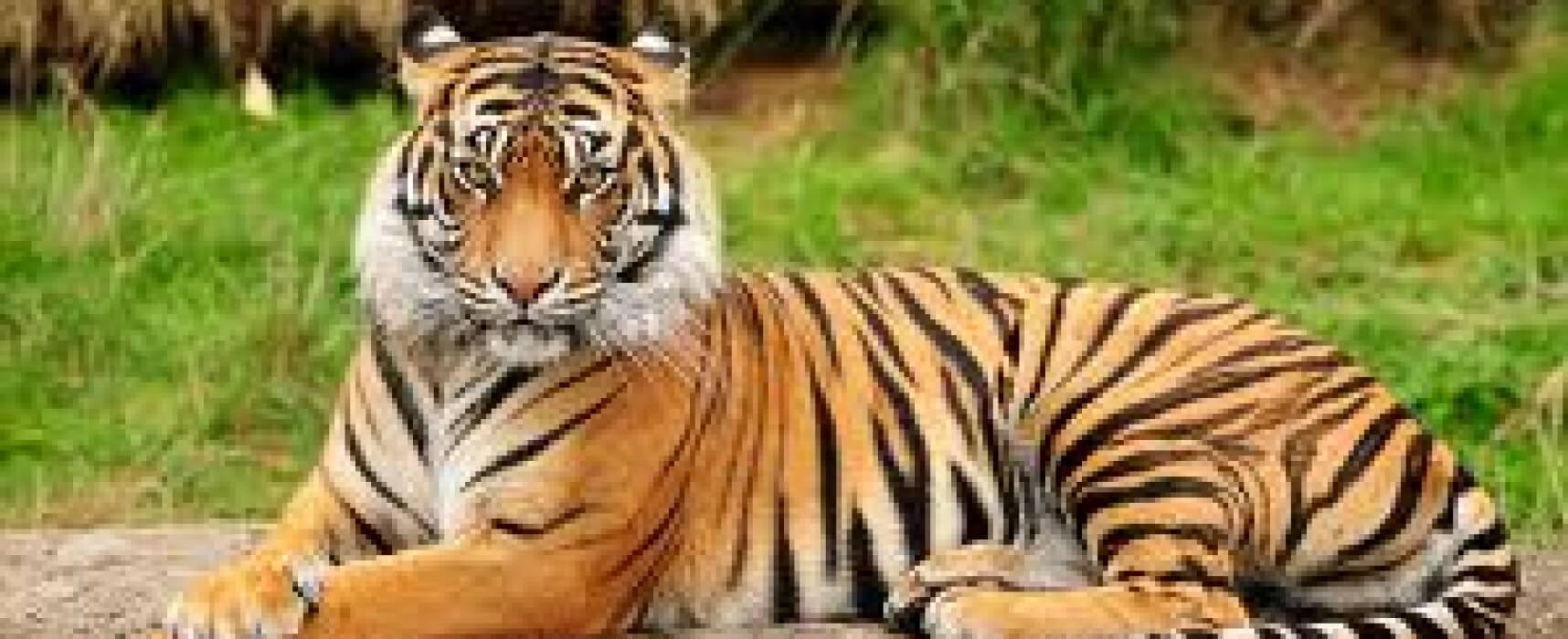 The Black Striped Animal