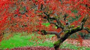Japanese Maple, Seattle Arboretum